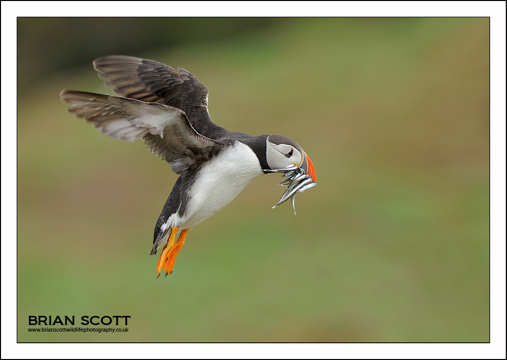 Photograph Atlantic Puffin by Brian Scott on 500px