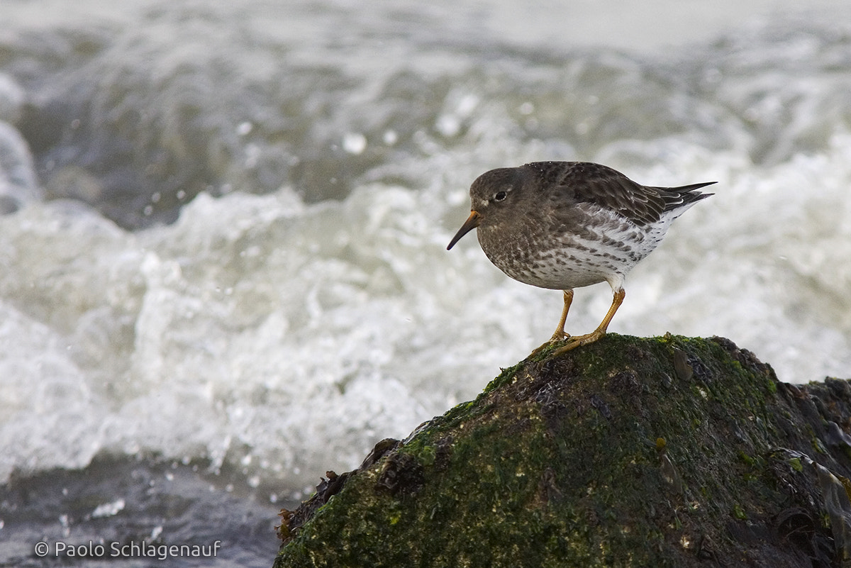 Photograph Purple Sandpiper by Paolo Schlagenauf on 500px