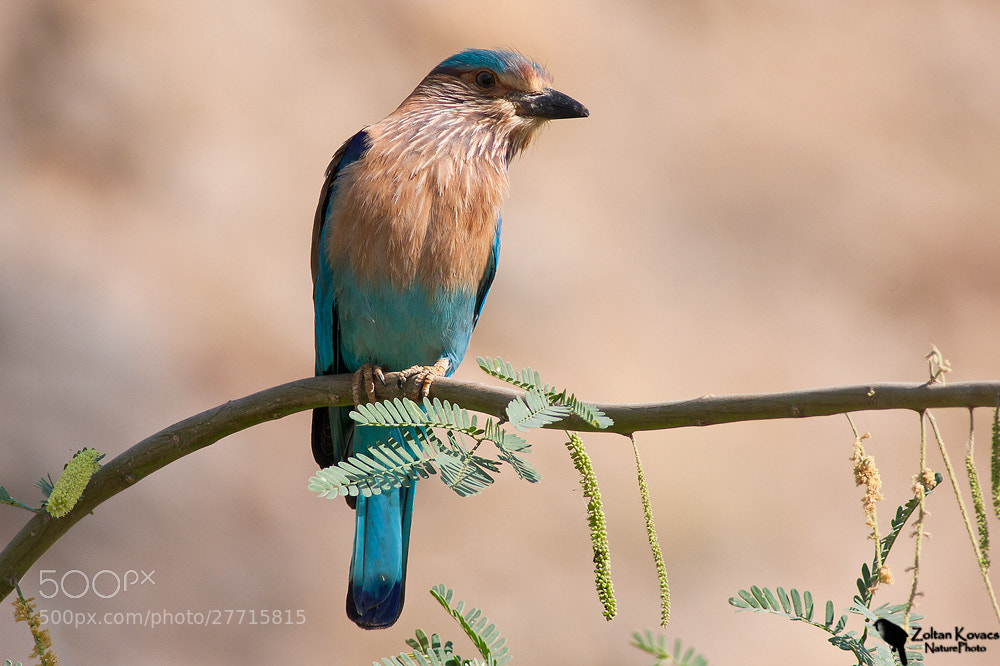 Photograph Indian Roller (Coracias benghalensis) by Zoltan Kovacs on 500px
