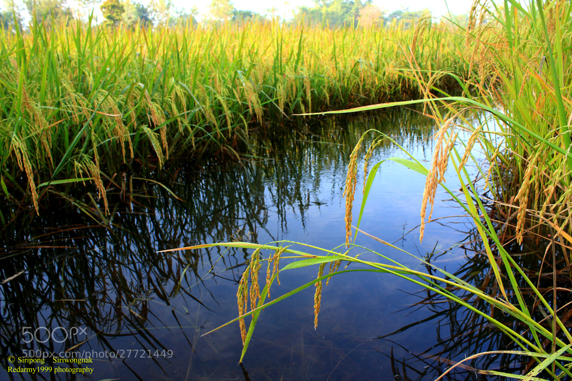 Photograph The rice of thailand by Siripong Siriwongnak on 500px