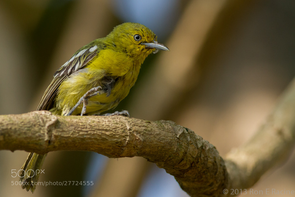 Photograph Juvenile Common Iora by Ron E Racine on 500px