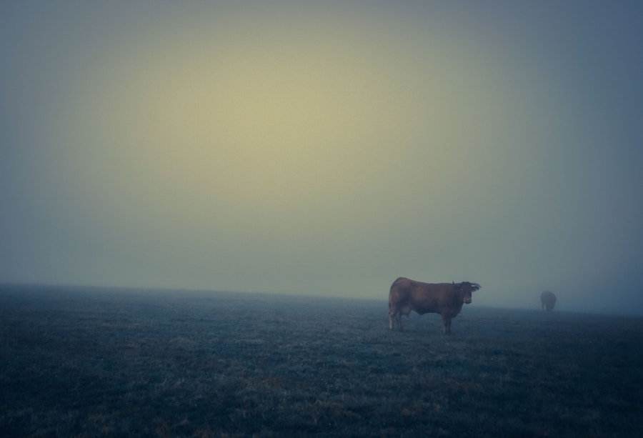 cows in fog..., автор — Pascal ROQUES на 500px.com