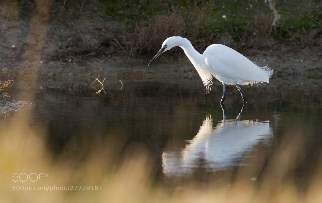 Photograph Little Egret by Florian Bestel on 500px