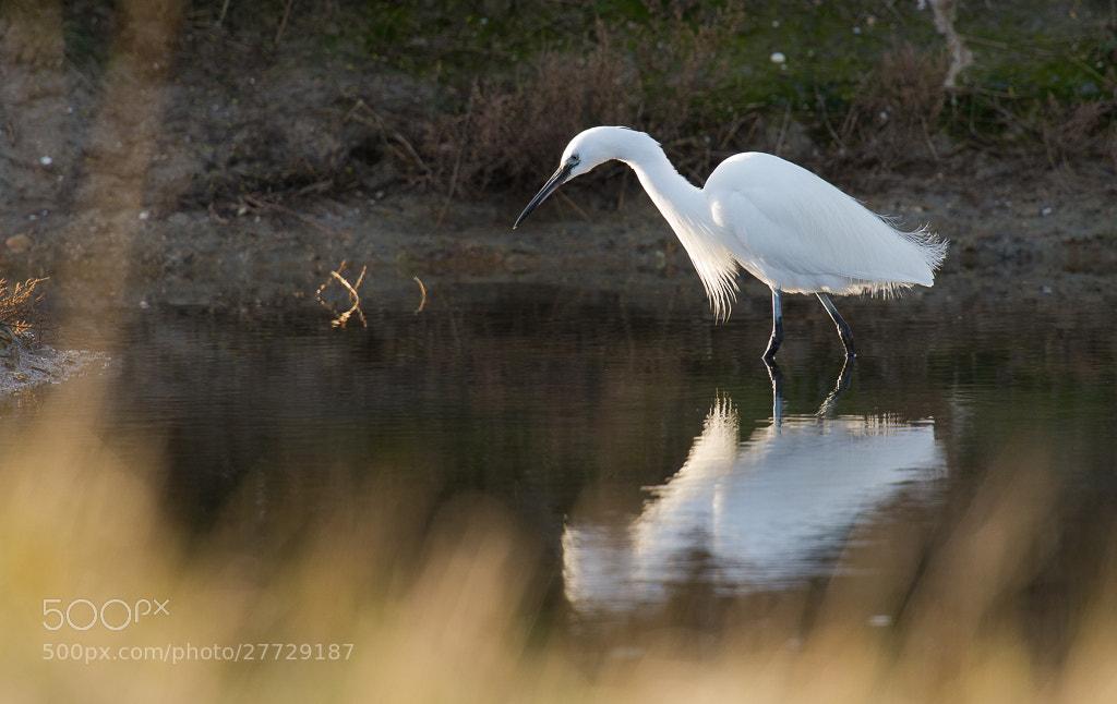Photograph Little Egret by Florian Bestel on 500px