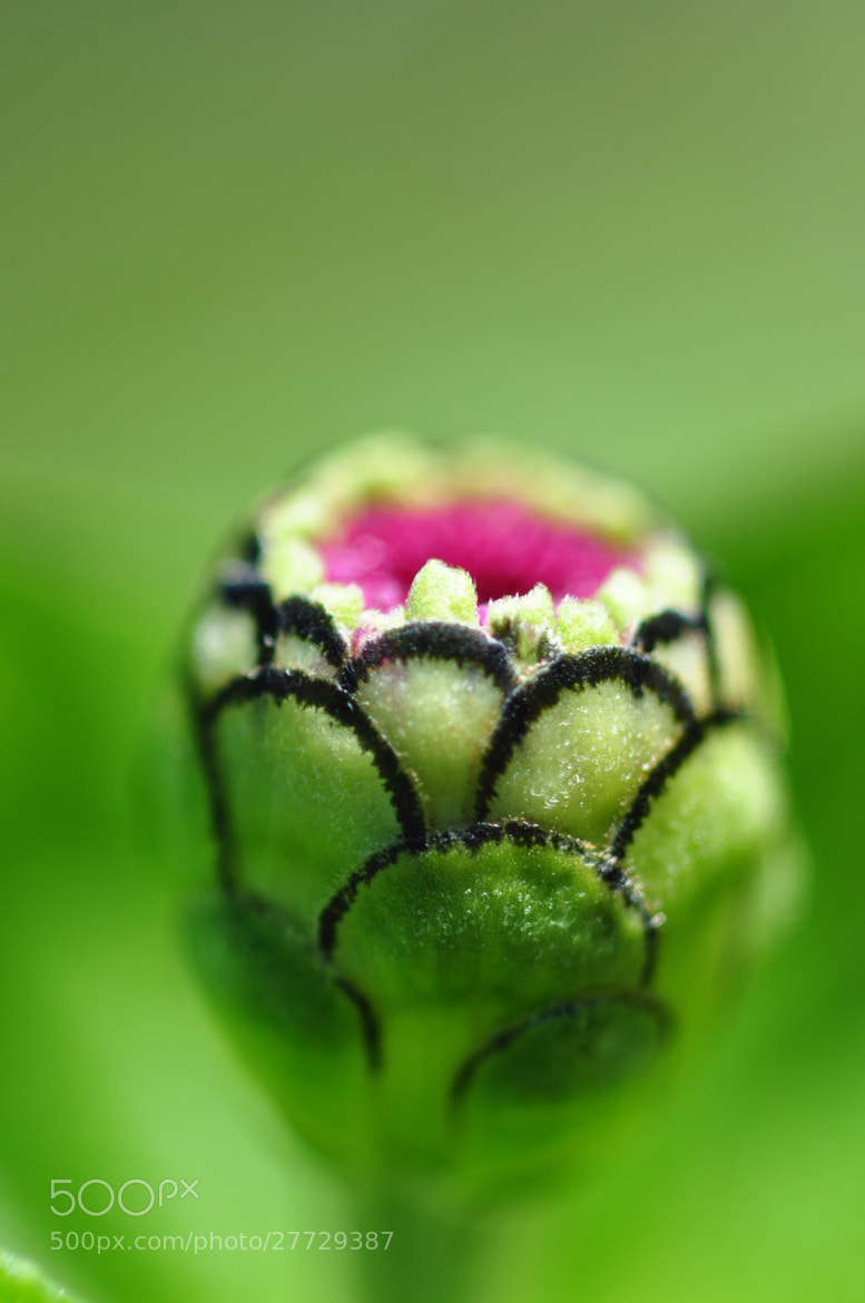 Photograph Pink and Black Flower Bud by Tracy Lamus on 500px