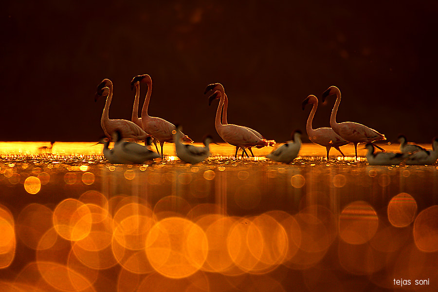 Photograph lesser flamingo  by Tejas Soni on 500px