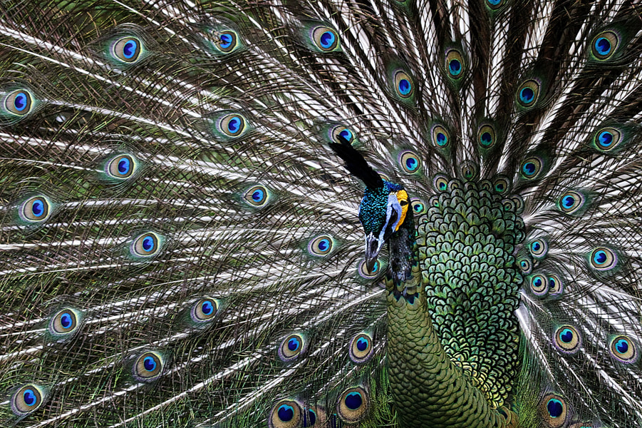 Photograph The Peacock by John Huslim on 500px