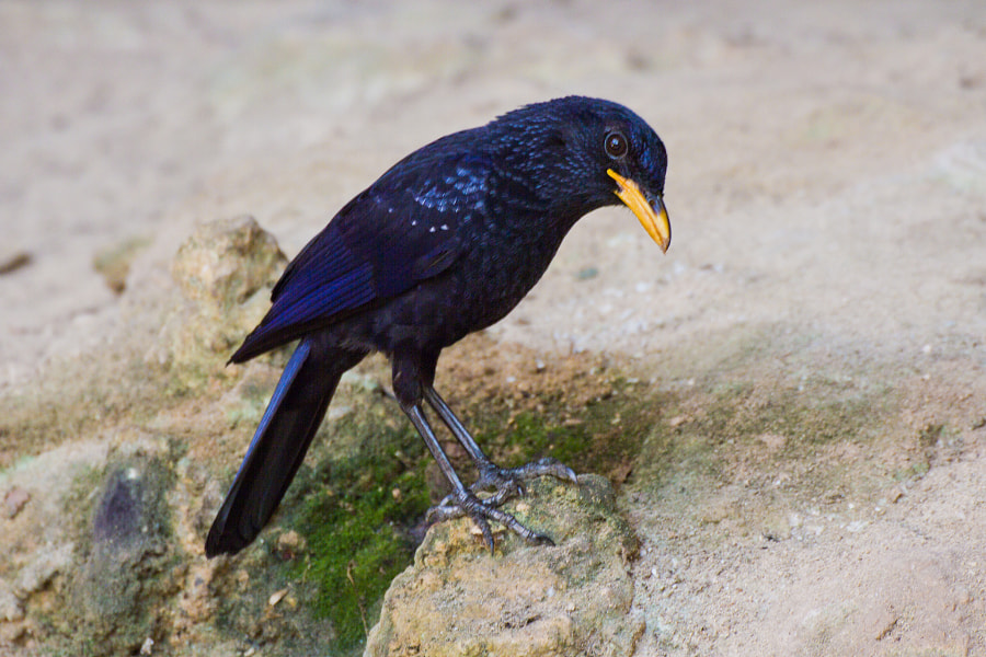 Blue Whistling Thrush shot as it foraged in in a cave - Thailand  It is known for its loud human-like whistling song at dawn and dusk. Like others in the genus, they feed on the ground, often along streams and in damp places. They eat fruits, earthworms, insects, crabs and snails. Snails and crabs are typically battered on a rock before feeding. In captivity, they have been known to kill and eat mice and in the wild have been recorded preying on small birds.