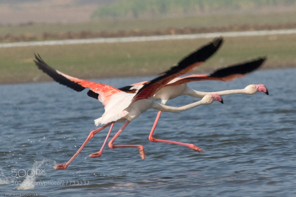Photograph Flamingo by Mahesh Kondwilkar on 500px