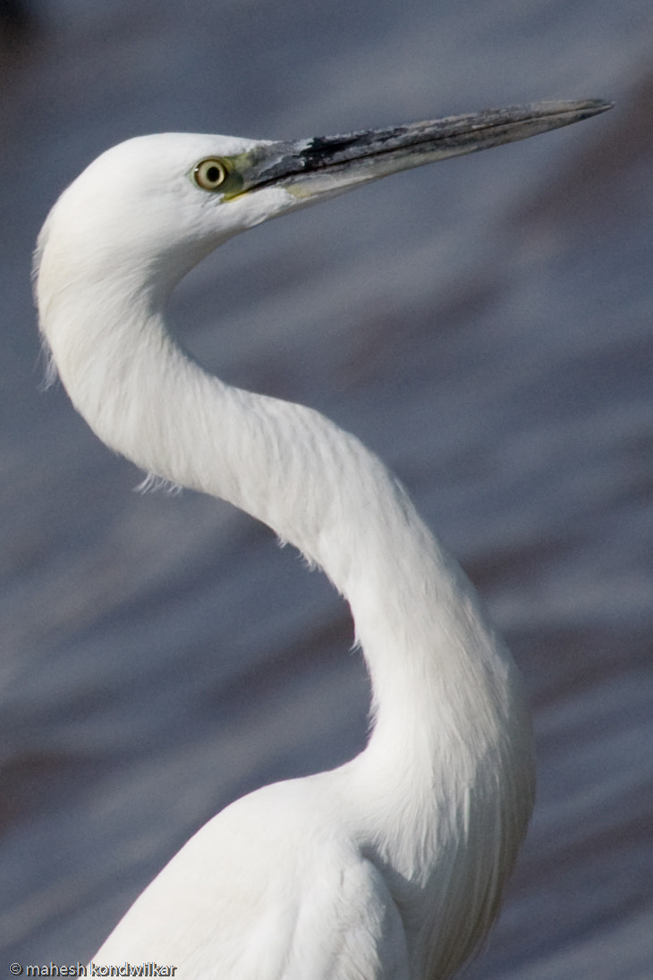 Photograph Egret by Mahesh Kondwilkar on 500px