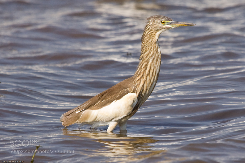 Photograph Pond Heron by Mahesh Kondwilkar on 500px