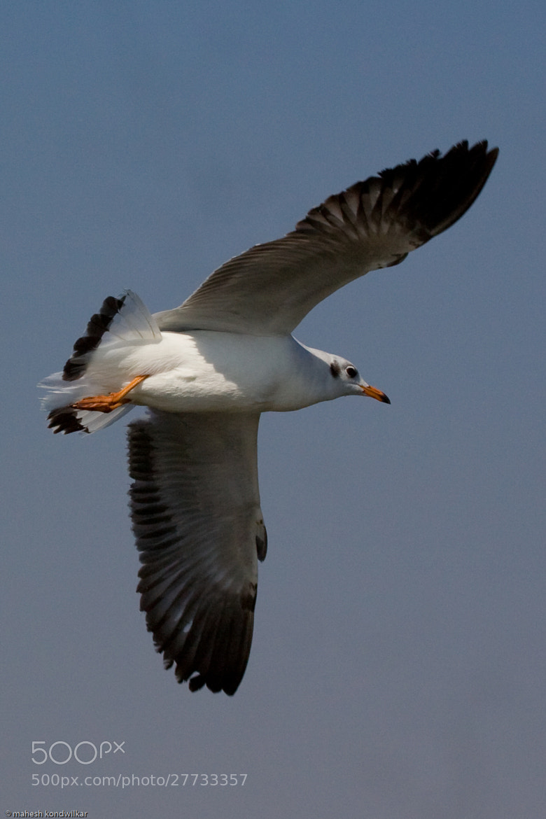 Photograph Seagull by Mahesh Kondwilkar on 500px