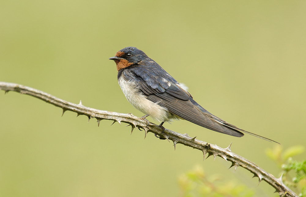 Photograph Swallow by Geoffrey Baker on 500px