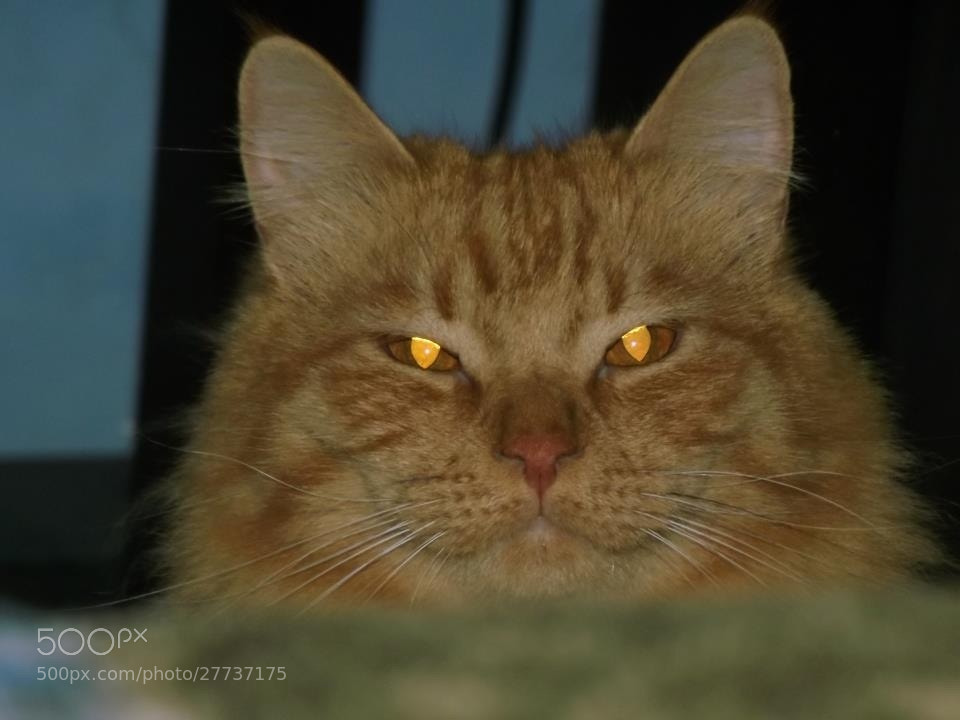 Photograph A cat can smile by Zaid Adwan on 500px