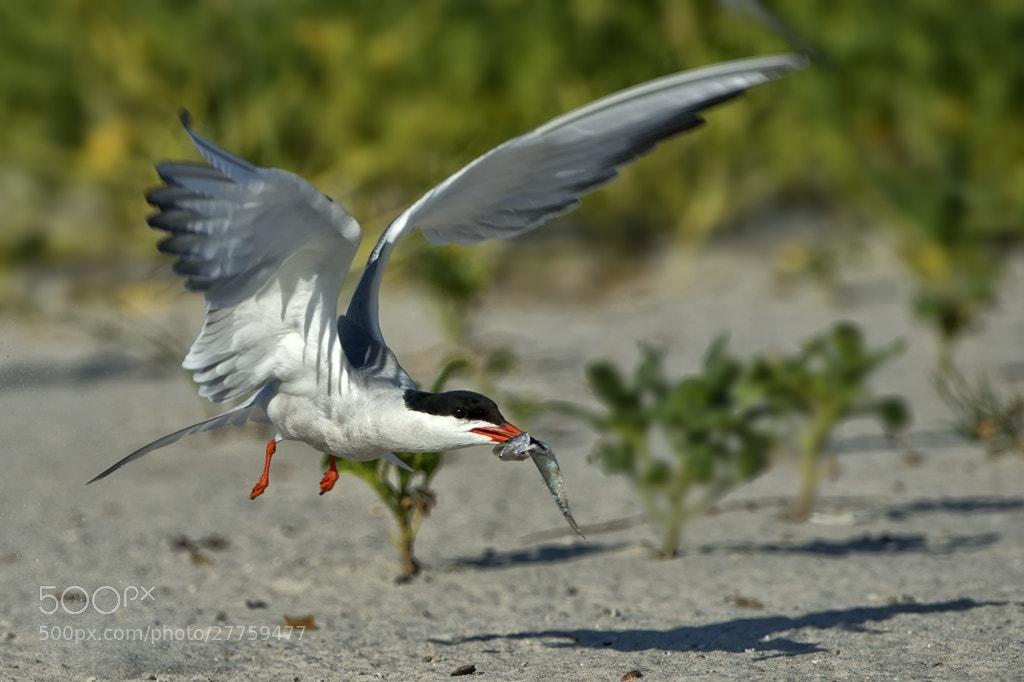Photograph Hungry Tern by Darek Siusta on 500px