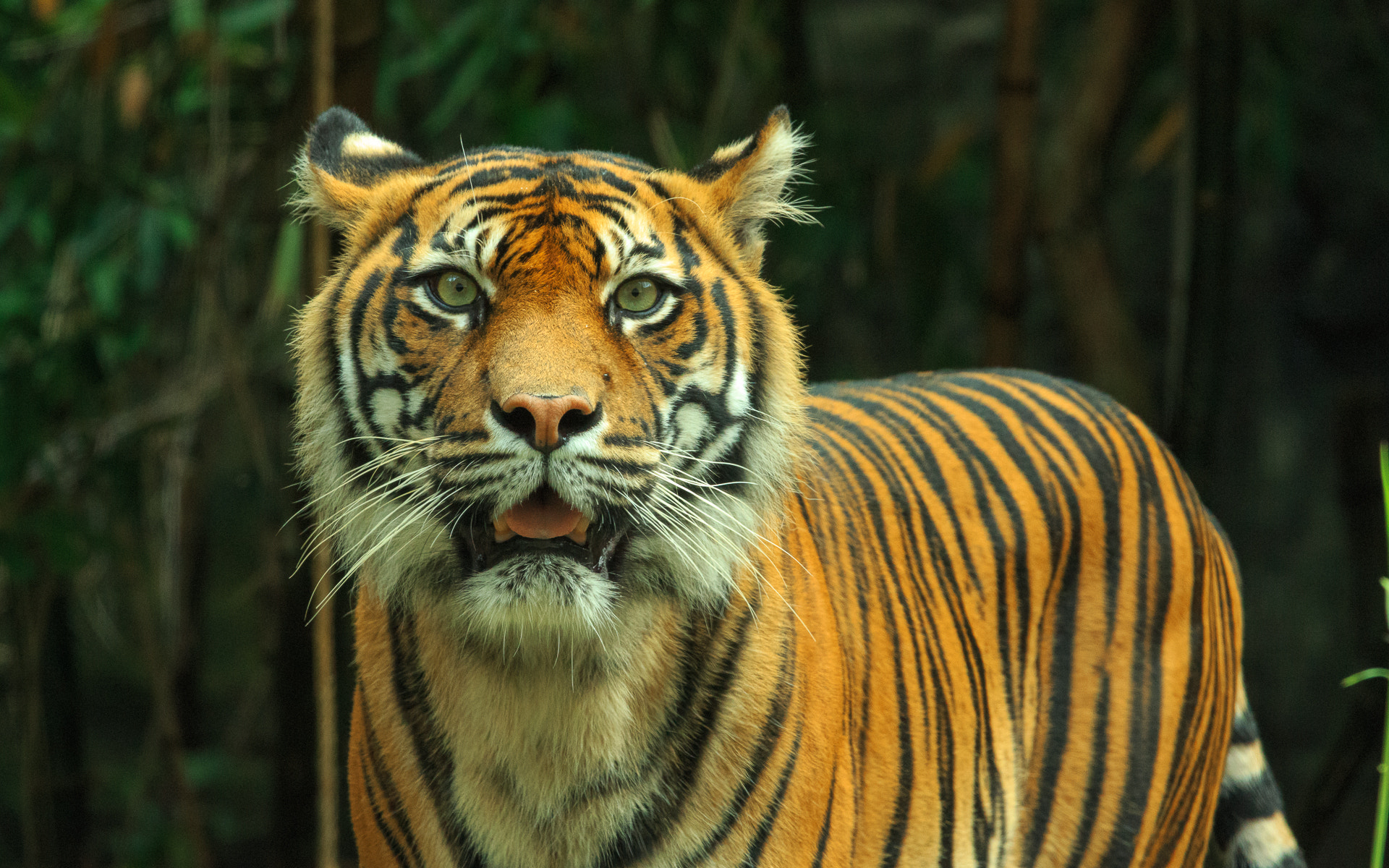 Photograph Tiger #2 by Mark Coker on 500px