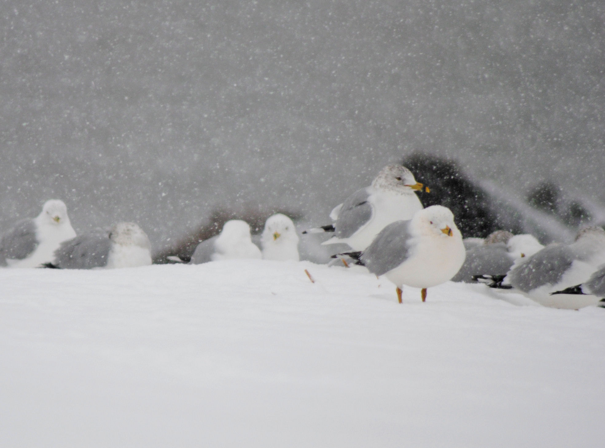 Photograph snowy gulls by Char Marie on 500px