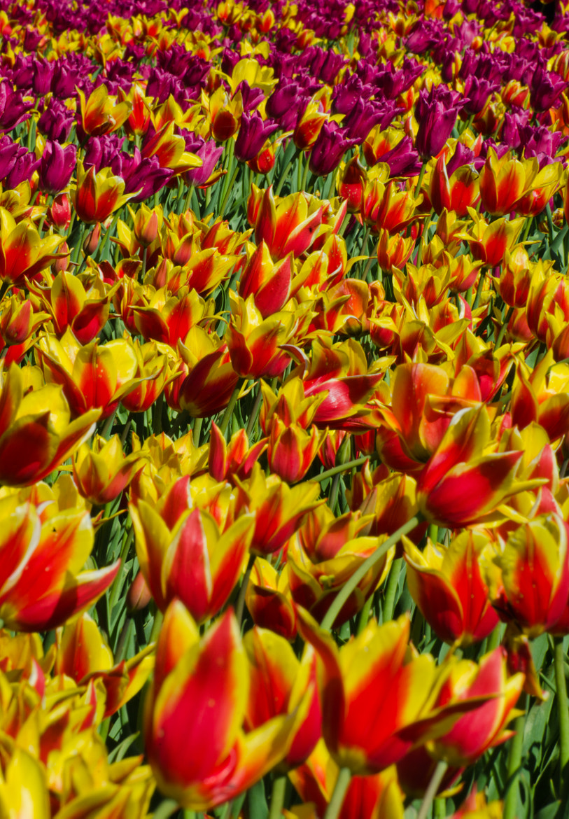 Photograph Sea of Tulips by Adam Neal on 500px
