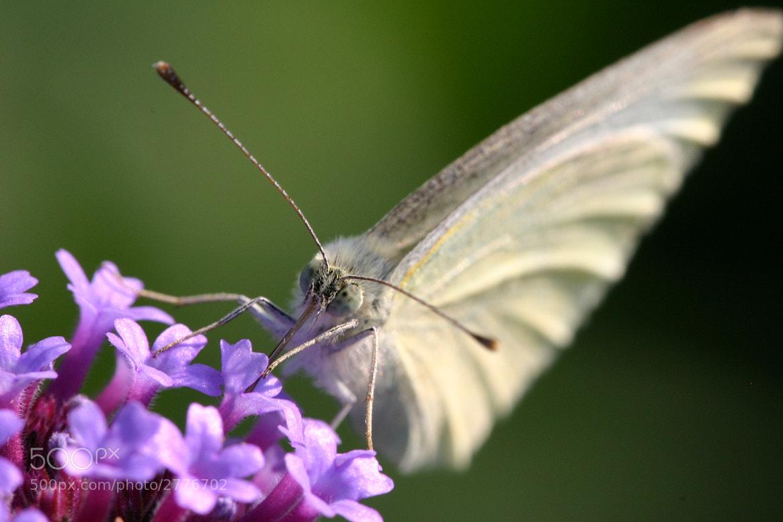Photograph butterfly by Jasper van den Heuvel on 500px