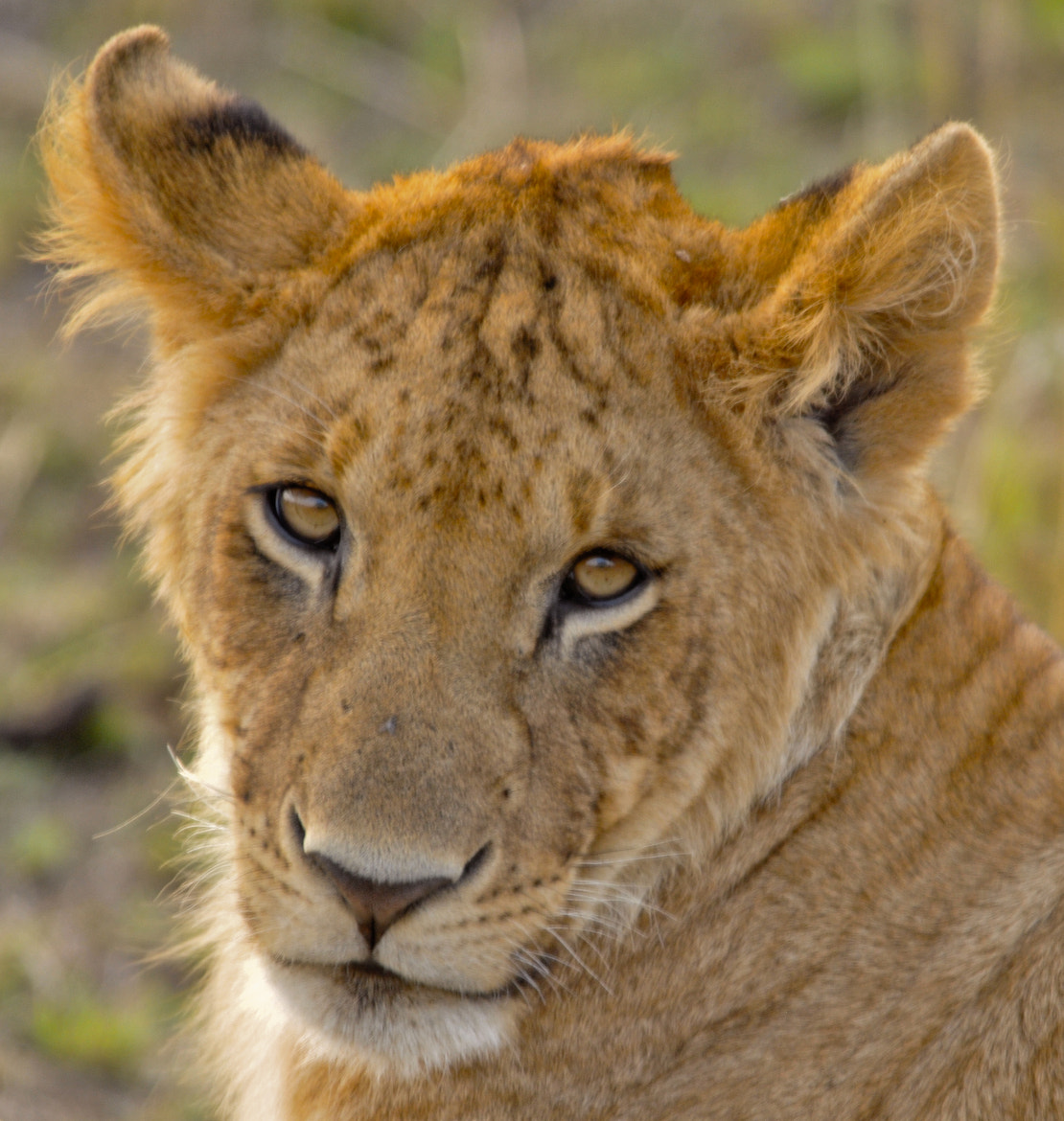 Photograph lioness by Adam Neal on 500px