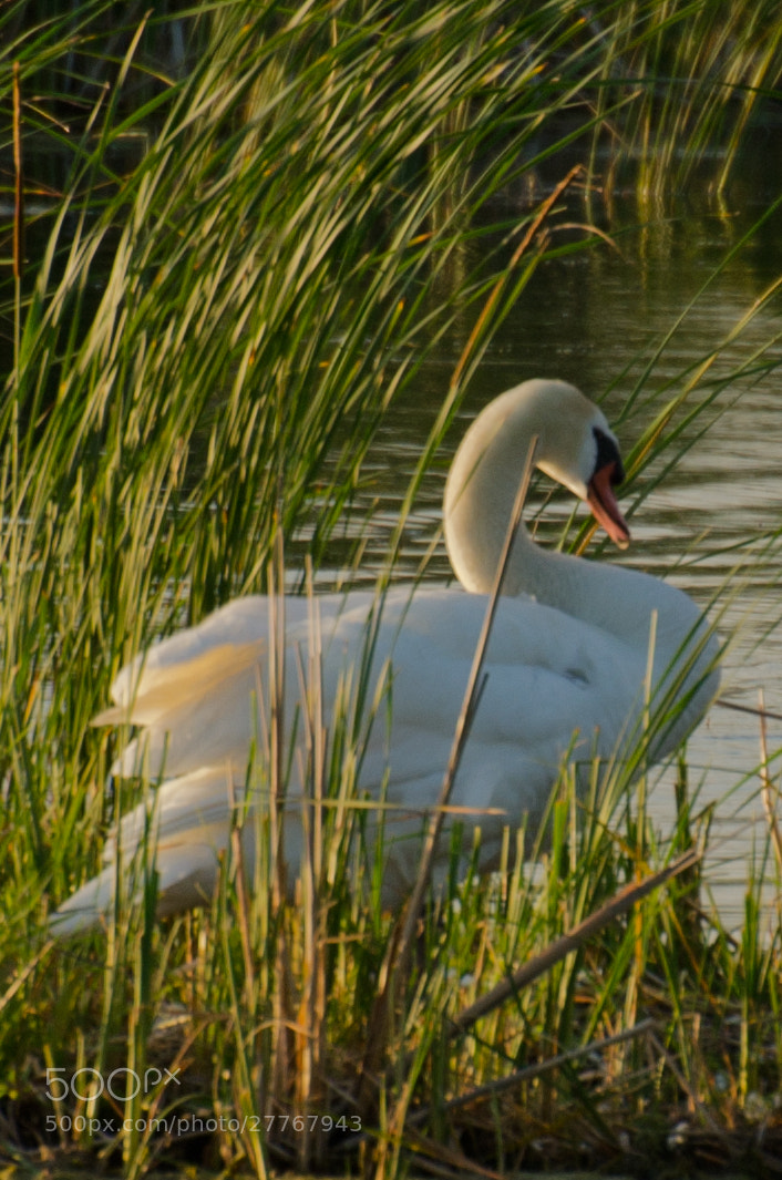 Photograph Swan by Adam Neal on 500px