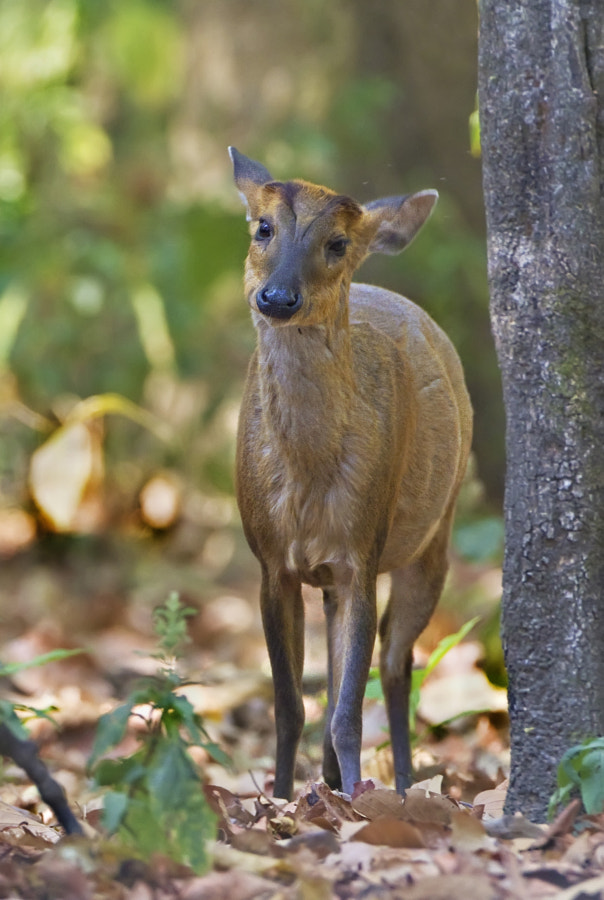 A young Sambar (i think) taken in Corbett National Park, India, 14th april 2011