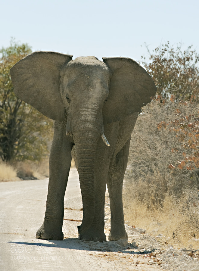 A young bull Elephant decides to hinder our passage on the road to Kalkhuel waterhole, Etosha National Park, Namibia, 29th June 2011. In more typical Etosha light, he eventually moved.