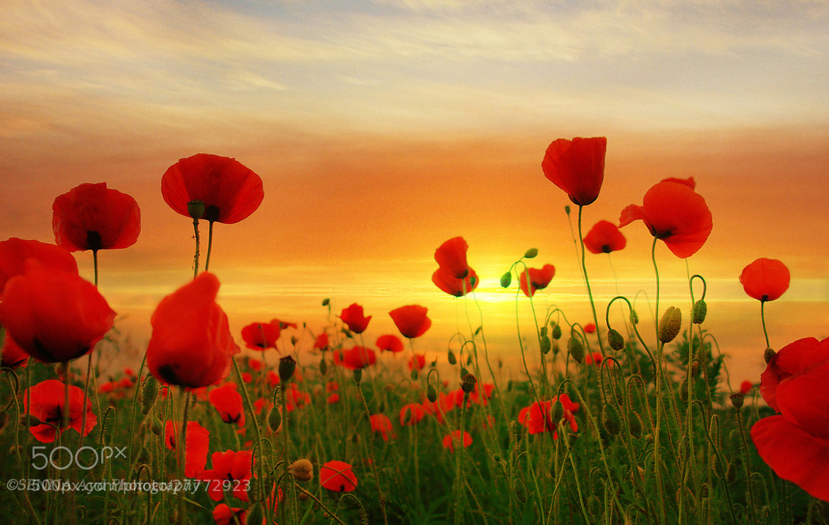 Photograph Poppies by Senna Ayd on 500px