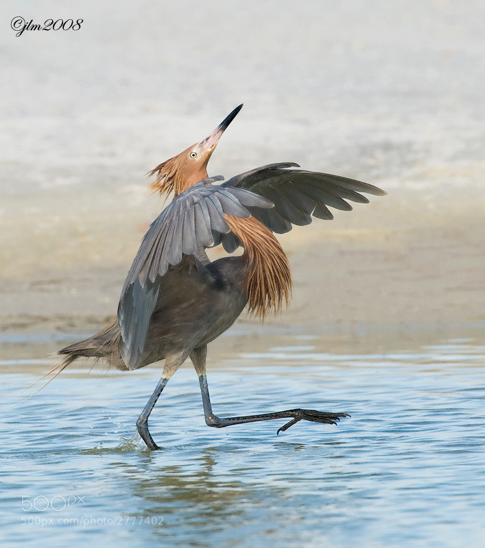 This image of the reddish egret was taken at courting time and they really put on quite a show with their strutting and dancing around to attract their partner.  This one was particularly proud !!!