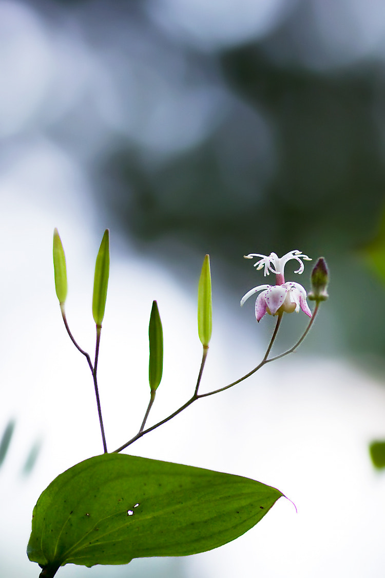 Photograph Speckled toad lily by LEE INHWAN on 500px