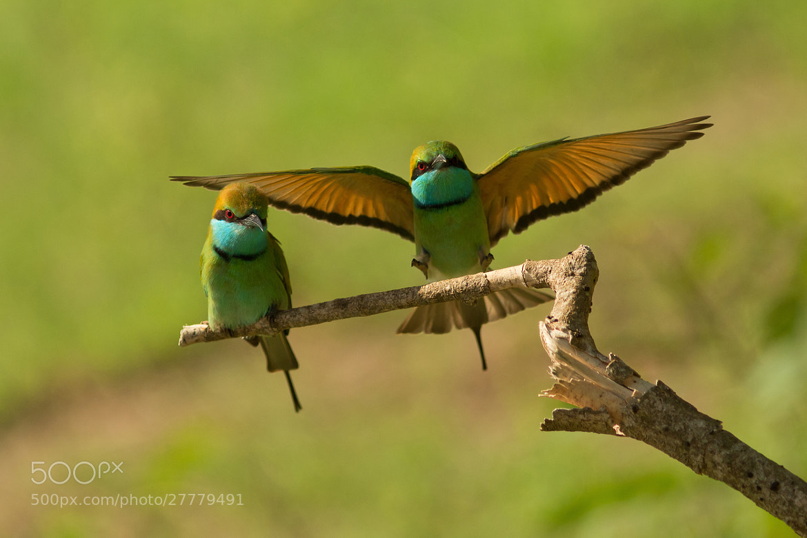 Photograph  Green Bee-eaters   by Milan Zygmunt on 500px