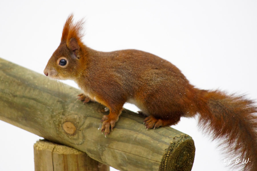 Photograph Red Squirrel by Boris Werner on 500px