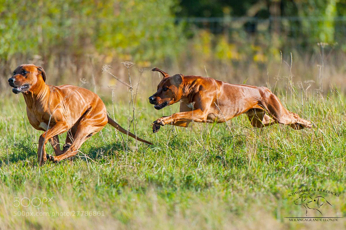 Photograph Rhodesian Ridgeback by Thomas Witte on 500px