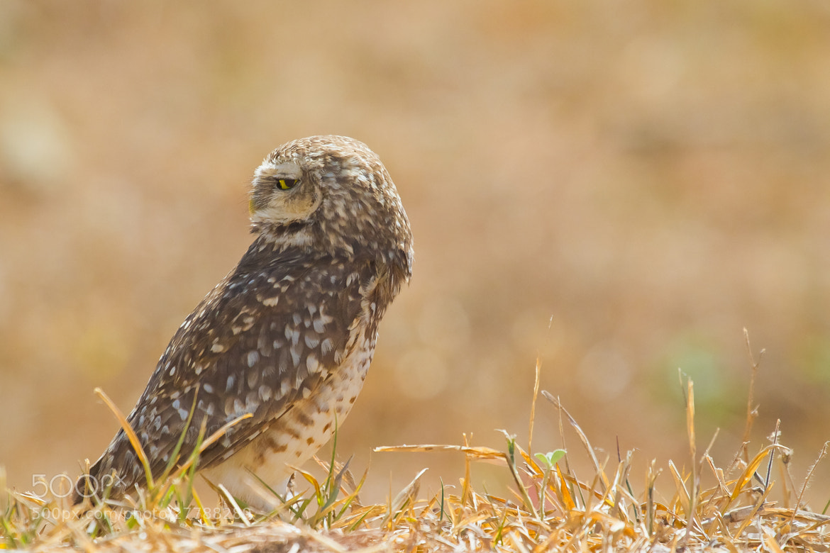 Photograph Burrowing Owl (Athene cunicularia) by Bertrando Campos on 500px