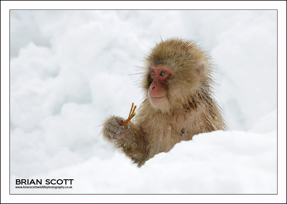 Photograph Snow Monkey by Brian Scott on 500px