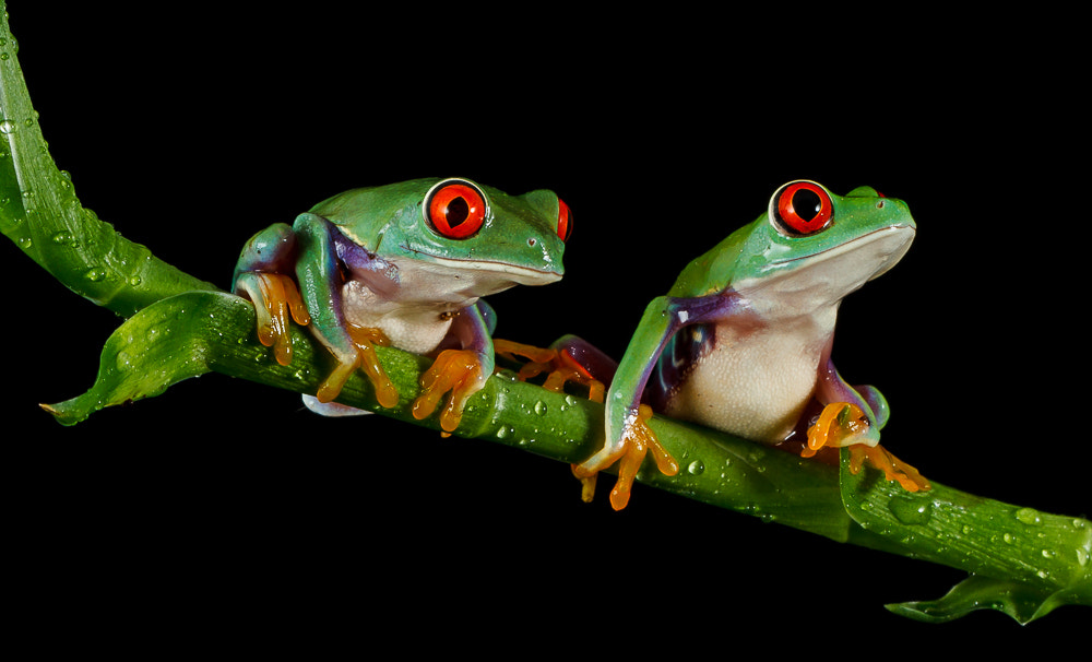 Photograph Two of a kind (Red eyed tree frog's) by John Starkey on 500px
