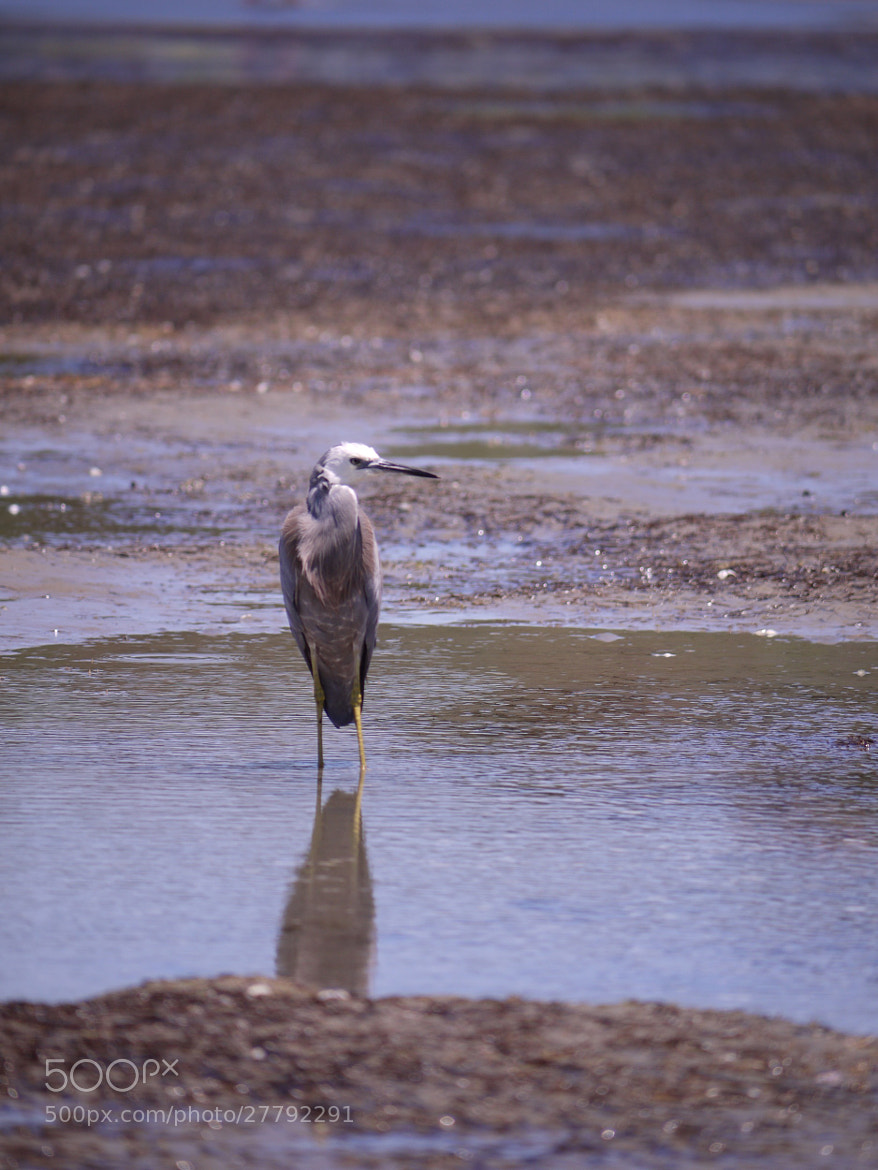 Photograph Heron by tsuken on 500px