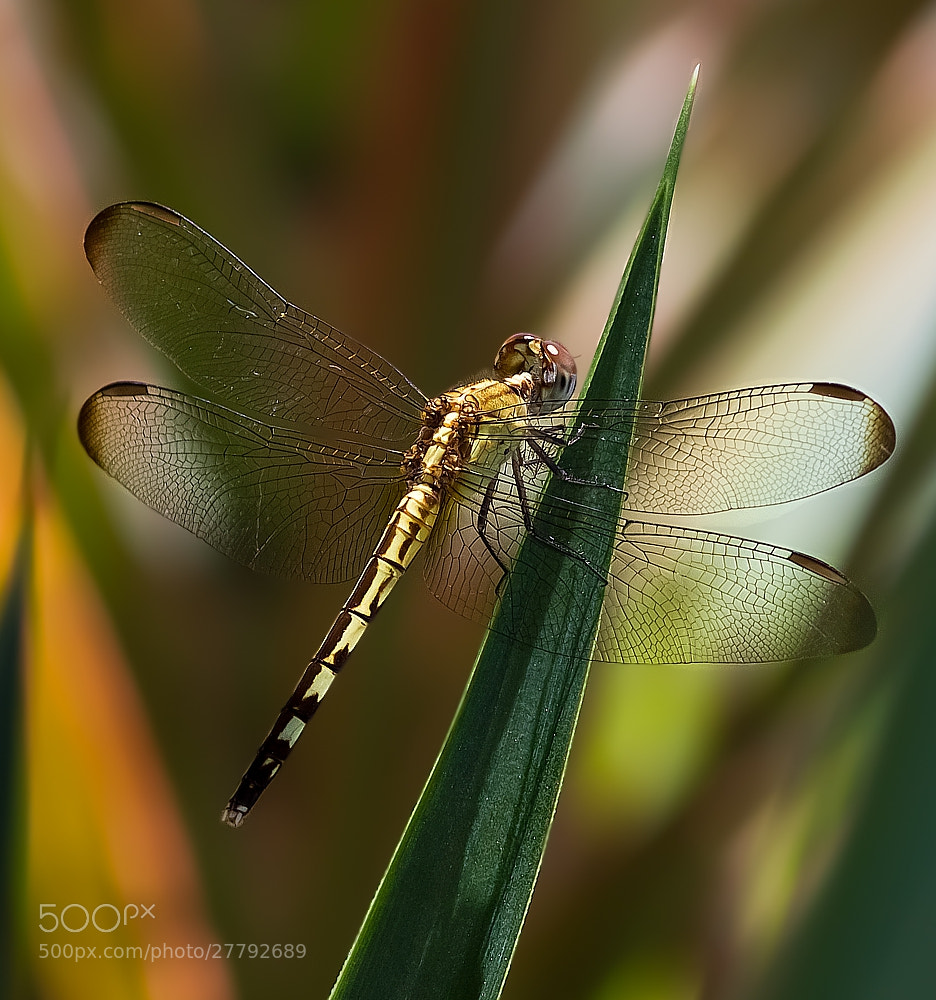 Photograph libélula by Marcelo Camacho on 500px