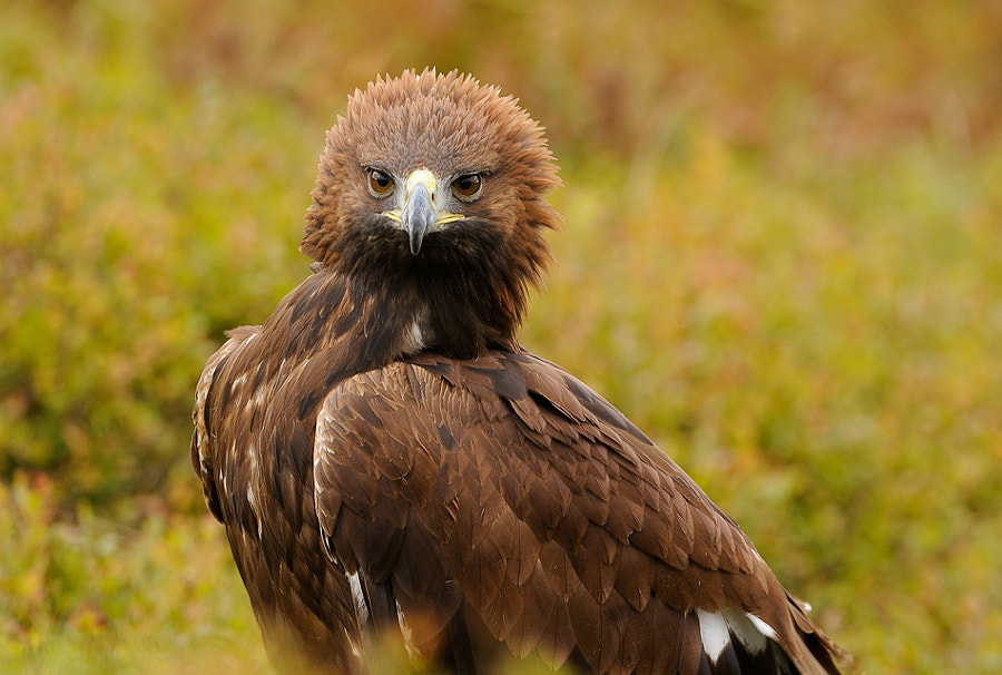 On of the nice things in my opinion is the way these beautiful Golden Eagles can put up there head feathers like a cock's comb. Don't exactly know if they do it out of anger or out of proud, but guess it's more out of anger.  Best regards and have a great weekend,   Harry