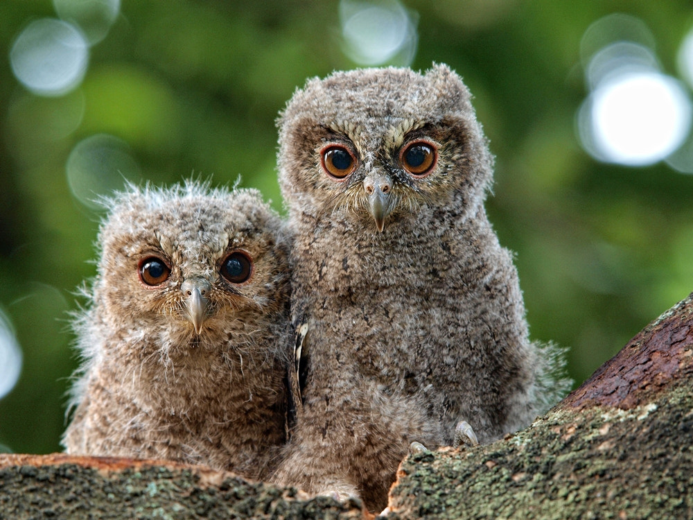 Photograph two owlets  by Irawan Subingar on 500px