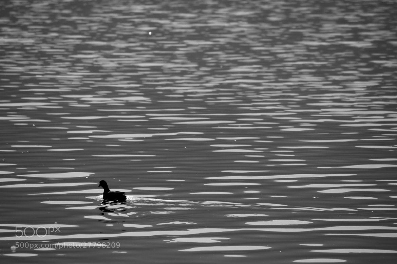 Photograph waterfowl by Yuji Hirai on 500px