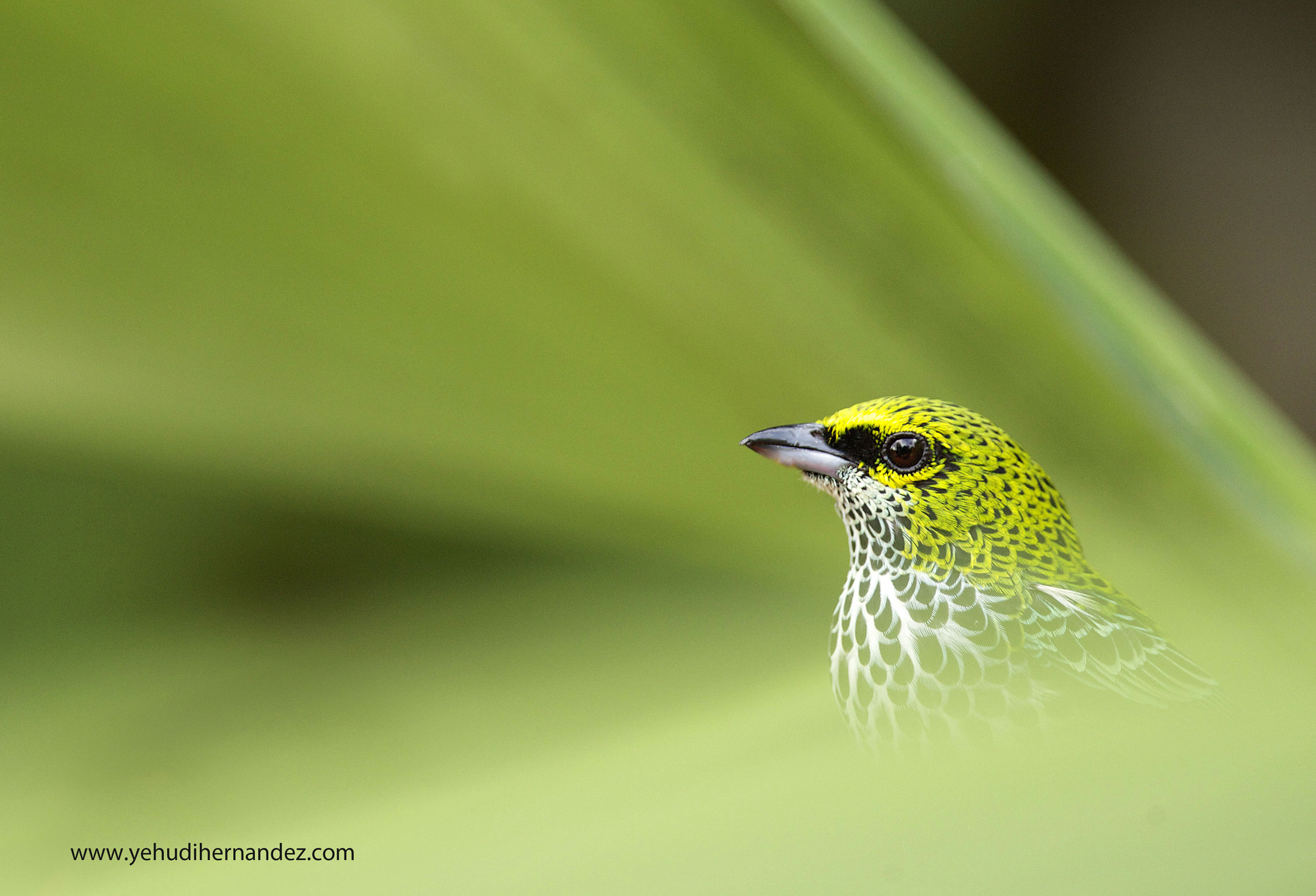Photograph Speckled Tanager by Yehudi  Hernandez on 500px