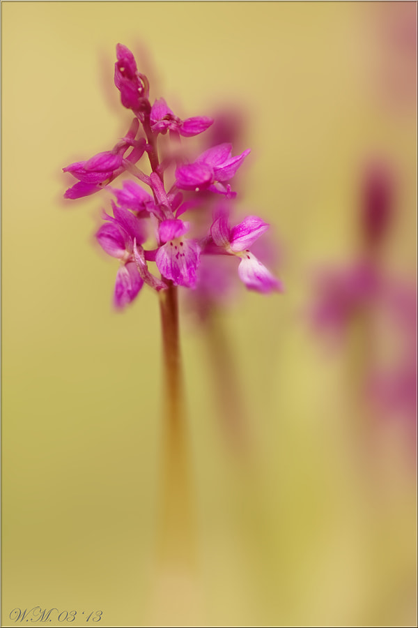 Early purple orchid by Wil Mijer on 500px