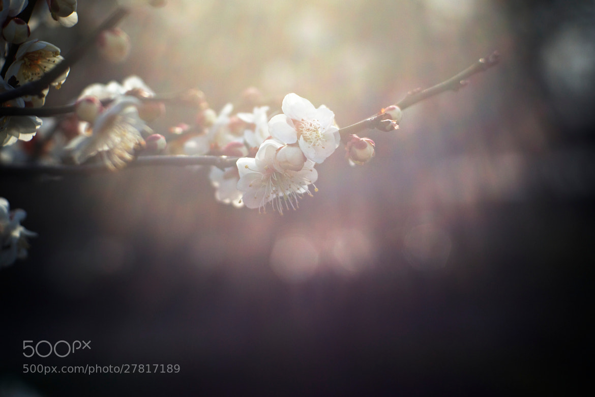 Photograph 梅花 by lin lv on 500px