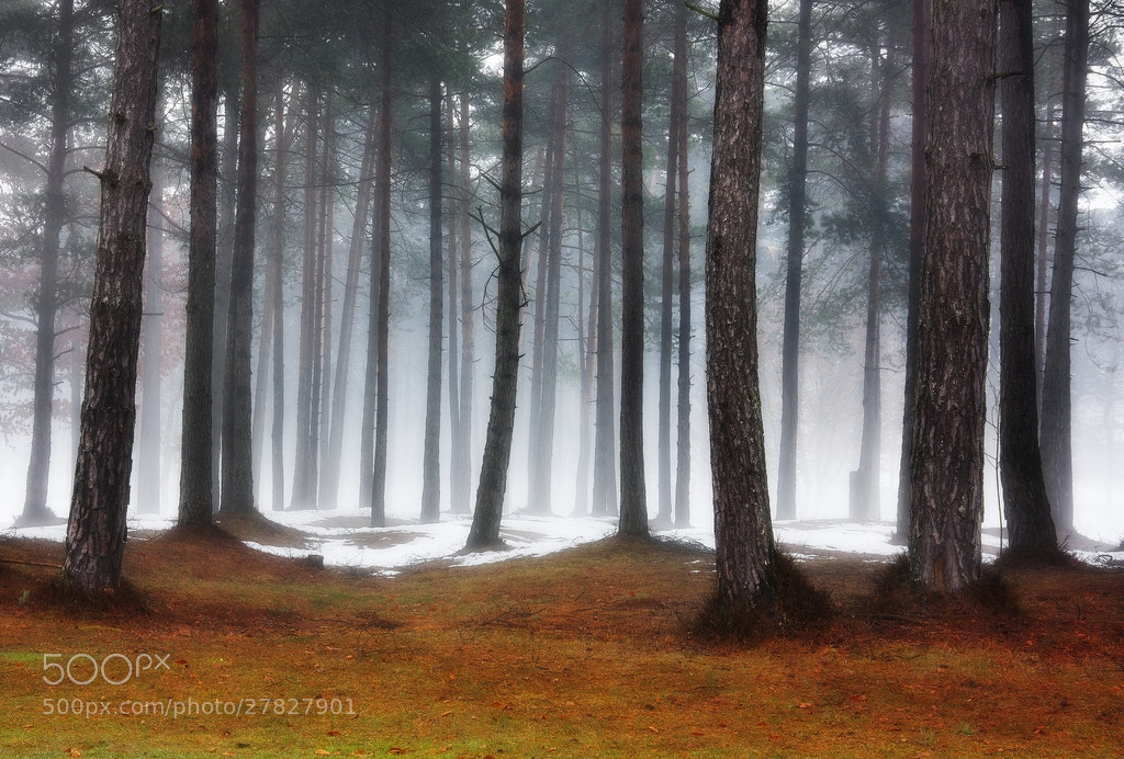 Photograph Pine forest by Kristjan Rems on 500px