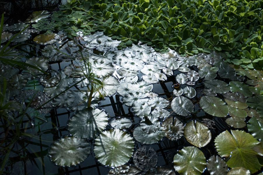 Les nénuphars (the lilies) de Christine Druesne sur 500px.com