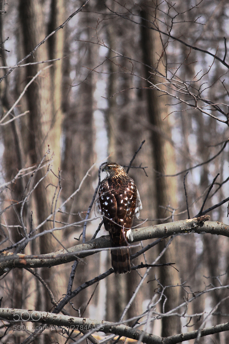 Photograph BROAD-WINGED HAWK by Richard Masters on 500px