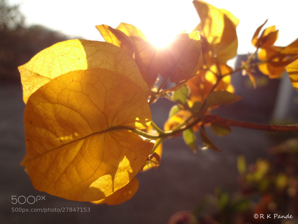 Photograph Yellow Bougainvilia by Raghavendra Kumar Pande on 500px