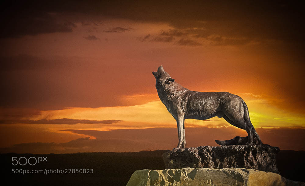 Photograph Howling for companion, Buffalo Bill Historical center - Cody, WY by Bảo   Trần on 500px