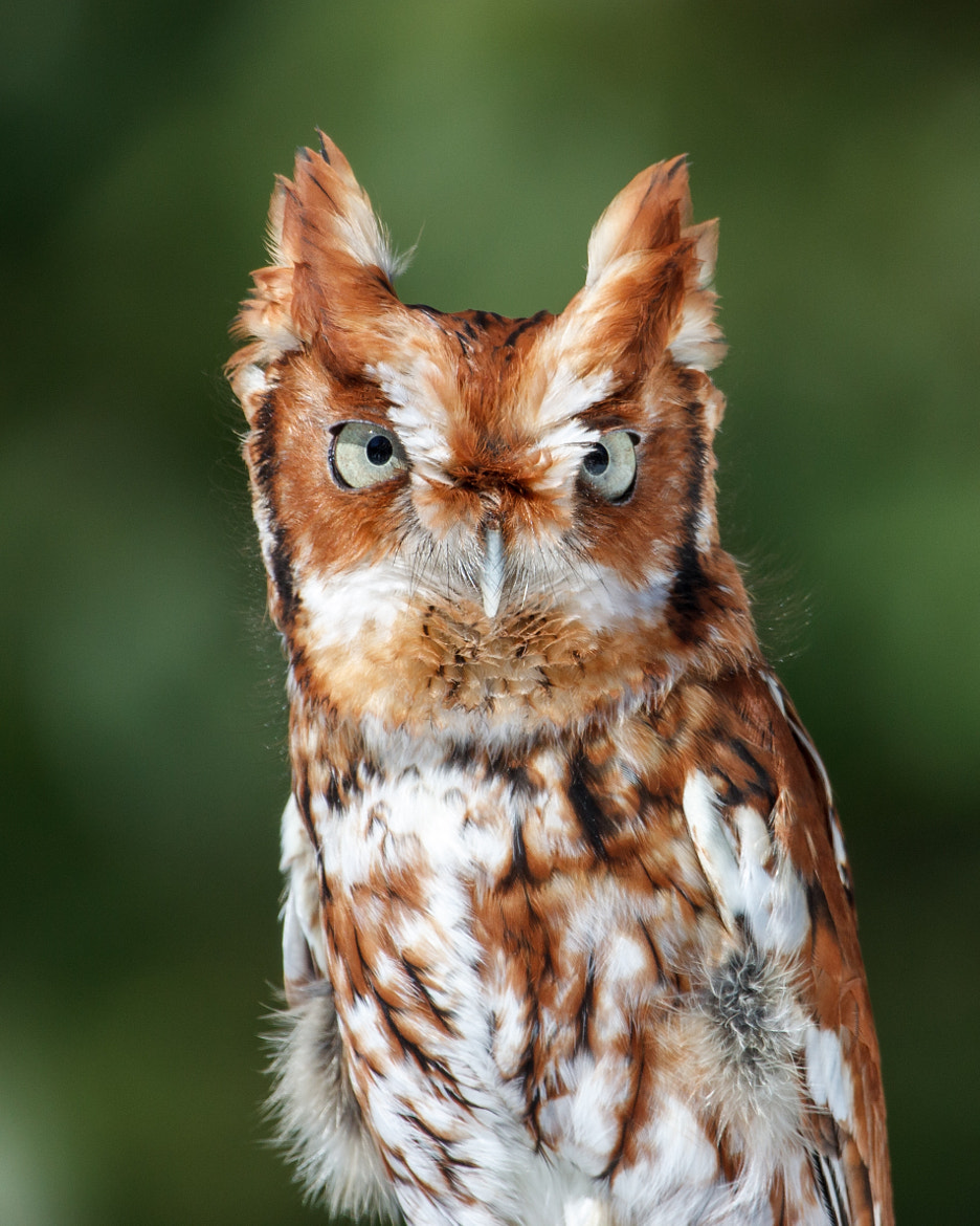Photograph Eastern Screech Owl by Bill McBride on 500px